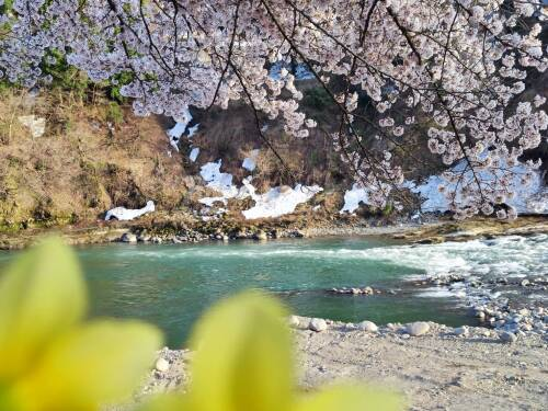 2021桜満開と川.JPG